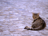 Cat in Street, Lipari, Sicily, Italy Photographic Print by Connie Bransilver