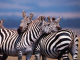 Burchell&#39;s Zebra, Masai Mara, Kenya Photographic Print by Dee Ann Pederson