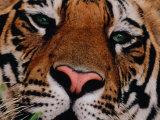 Bengal Tiger in Bandhavgarh National Park, India Fotografisk tryk af Dee Ann Pederson