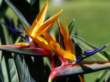 Bird of Paradise in Bermuda Botanical Gardens, Caribbean Photographic Print by Greg Johnston