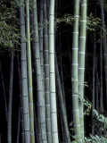 Bamboo Forest, Kyoto, Japan Photographic Print by Dave Bartruff