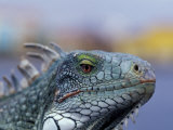 Iguana, Curacao, Caribbean Photographic Print by Greg Johnston