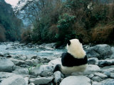 Giant Panda Eating Bamboo by the River, Wolong Panda Reserve, Sichuan, China Fotografisk trykk av Keren Su