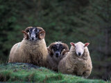 Scottish Sheep, Isle of Skye, Scotland Photographic Print by Gavriel Jecan