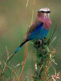 Lilac Breasted Roller, Masai Mara, Kenya Fotografie-Druck von Dee Ann Pederson