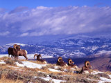 Six Bighorn Rams, Whiskey Mountain, Wyoming, USA Photographic Print by Howie Garber