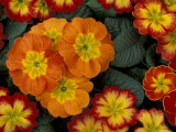 Orange Primroses Pattern, Washington, USA Photographic Print by Jamie & Judy Wild