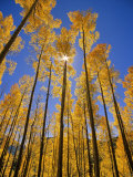Aspen Grove in the San Juan Range of Colorado, USA Stampa fotografica di Chuck Haney