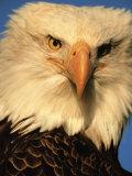 Bald Eagle in Kachemak Bay, Homer, Alaska, USA Fotografisk tryk af Dee Ann Pederson