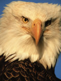 Bald Eagle in Kachemak Bay, Homer, Alaska, USA Fotografie-Druck von Dee Ann Pederson