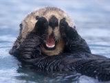 Sea Otters, Alaska, USA Photographic Print by Daisy Gilardini