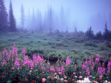 Foggy Alpine Meadow, Mt. Rainier National Park, Washington, USA Photographic Print by Janell Davidson