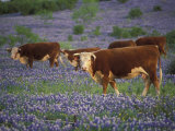 Hereford Cattle in Meadow of Bluebonnets, Texas Hill Country, Texas, USA Photographic Print by Adam Jones