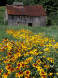 Black Eyed Susans and Barn, Vermont, USA Photographic Print by Darrell Gulin