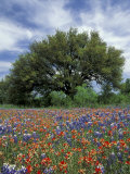Paintbrush and Bluebonnets and Live Oak Tree, Marble Falls, Texas Hill Country, USA Photographic Print by Adam Jones