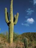 Saguaro Cactus in Sonoran Desert, Saguaro National Park, Arizona, USA, Photographic Print