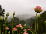 Lotus with Mountains and Fog in the Background, North Carolina, USA Photographic Print by Joanne Wells