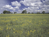 Field of Flowers and Clouds, Hill Country, Texas, USA Photographic Print by Adam Jones