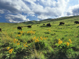 Bison Graze in Arrowleaf Balsamroot, National Bison Range, Moiese, Montana, USA Photographic Print by Chuck Haney