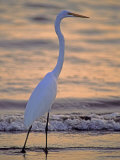 Great Egret Photographic Print by Georgienne Bradley