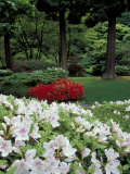 Azaleas in Japanese Garden, Portland, Oregon, USA Photographic Print by Adam Jones