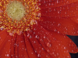 Gerbera with Water Drops Photographic Print by Daisy Gilardini