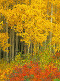 Quaking Aspen and Sumac, Routt National Forest, Colorado, USA Photographic Print by Rob Tilley