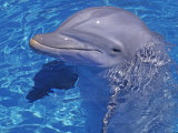 Bottlenosed Dolphin Photographic Print by Georgienne Bradley