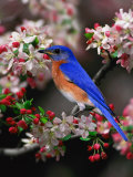 Male Eastern Bluebird Among Crabapple Blossoms, Kentucky, USA Photographic Print by Adam Jones