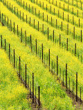 Mustard Plants in Vineyard, Napa Valley Wine Country, California, USA Photographic Print by John Alves