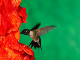 Male Ruby-Throated Hummingbird Feeding on Gladiolus Flowers Photographic Print by Adam Jones