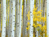 Aspen Grove, White River National Forest, Colorado, USA Photographic Print by Rob Tilley