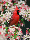 Male Northern Cardinal among Crabapple Blossoms Photographic Print by Adam Jones