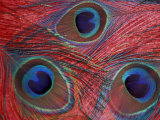 Peacock Feathers Pattern, Washington, USA Lámina fotográfica por Jamie & Judy Wild
