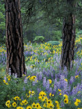 Balsam Root and Lupines Among Pacific Ponderosa Pine, Rowena, Oregon, USA Photographic Print by Jamie & Judy Wild