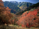 Maples on Slopes above Logan Canyon, Bear River Range, Wasatch-Cache National Forest, Utah, USA Photographic Print by Scott T. Smith