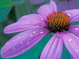 Purple Cone Flower with Water Drops Photographic Print by Brent Bergherm