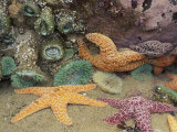 Green Anemones and Sea Stars, Cape Kiwanda State Park, Oregon, USA Photographic Print by Stuart Westmoreland