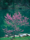 Lakeside Redbud Tree Blooms in Spring Photographic Print by Gayle Harper