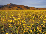 Field of Desert Gold Wildflowers, Death Valley National Park, California, USA Photographic Print by Chuck Haney