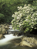 Mountain Laurel on Little Pigeon River, Cades Cove, Great Smoky Mountains National Park, Tennessee Photographic Print by Adam Jones