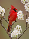 Male Northern Cardinal Among Blossoms of Pear Tree Photographic Print by Adam Jones