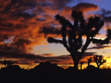 Spectacular Sunrise at Joshua Tree National Park, California, USA Photographic Print by Chuck Haney