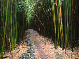 Bamboo Forest on the Waimoku Falls Trail, South of Hana, Maui, Hawaii, USA Photographic Print by Charles Sleicher