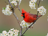 Male Northern Cardinal Among Pear Tree Blossoms, Kentucky, Photographic Print