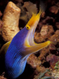 Blue Ribbon Eel, Papua New Guinea Photographic Print by Michele Westmorland