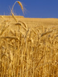 Harvest Time Wheat Crop, Palouse, Washington, USA Photographic Print by Terry Eggers