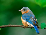 Eastern Bluebird, Art Print