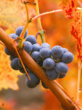 Dew on Cabernet Grapes, Napa Valley Wine Country, California, USA Photographic Print by John Alves