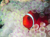 Spinecheek Anemonefish, Bulb-tipped Anemone, Great Barrier Reef, Papau New Guinea Photographic Print by Stuart Westmoreland